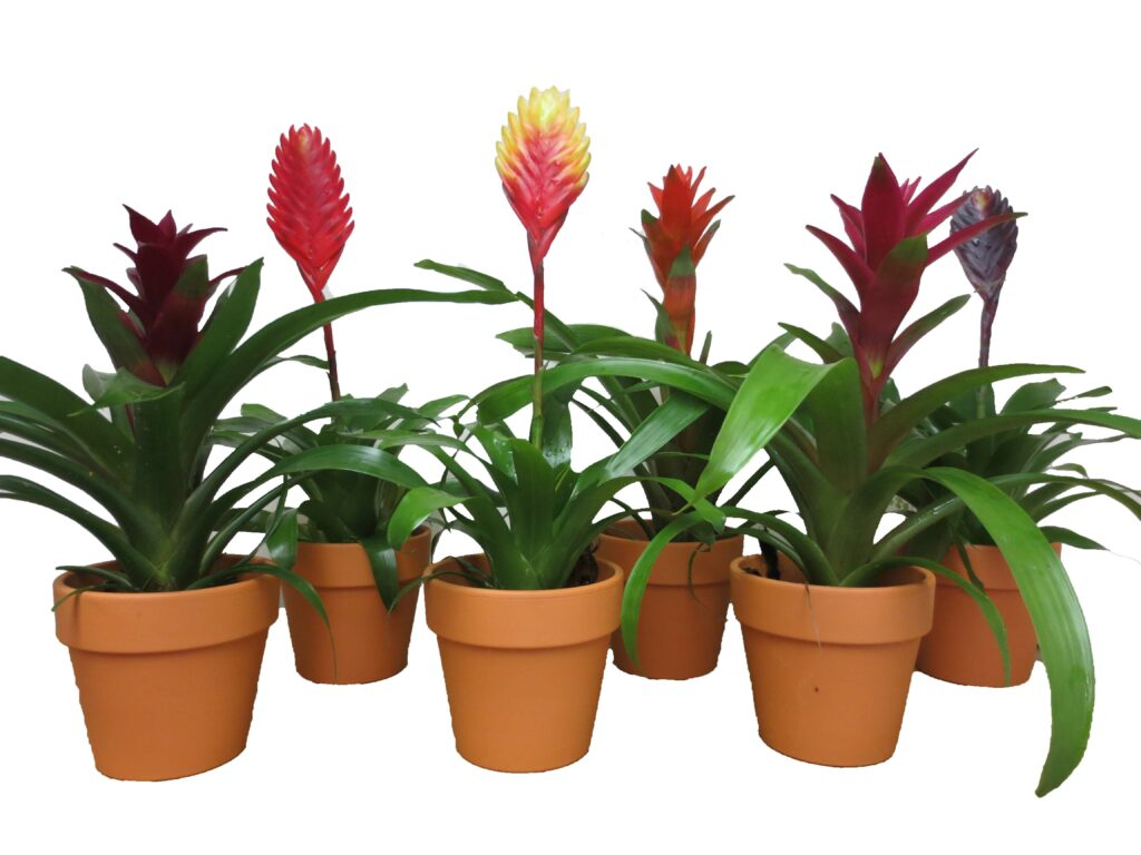 bromeliad in clay tropical