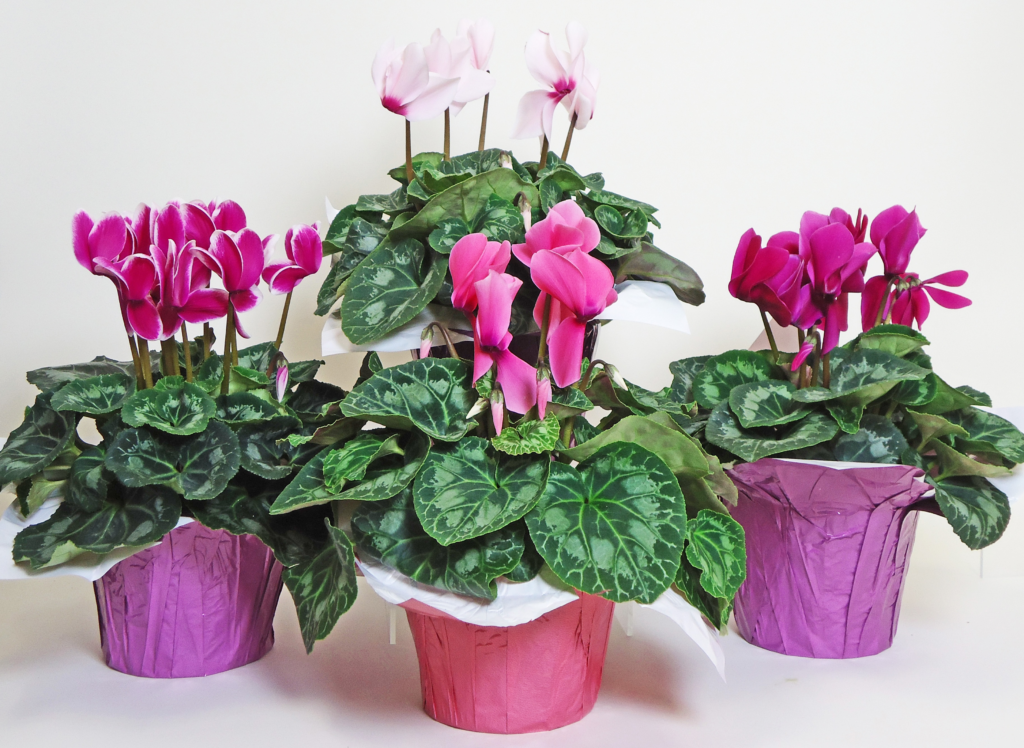 Featured Product of the Week...Cyclamen!