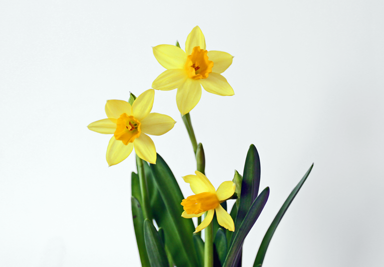 Featured Product of the Week... Daffodils!