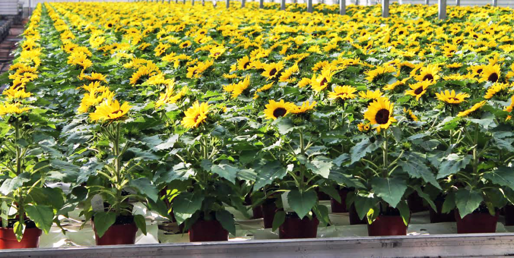 Featured Product of the Week... Sunflowers!
